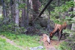big ass deer