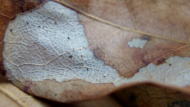 Decaying Live Oak Leaf