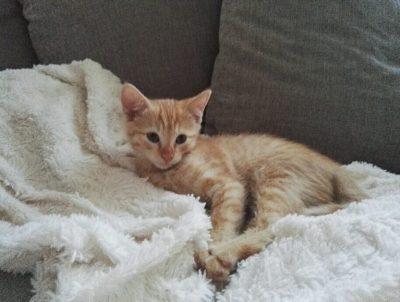 chaton fauve