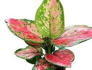 pink dumb cane flower