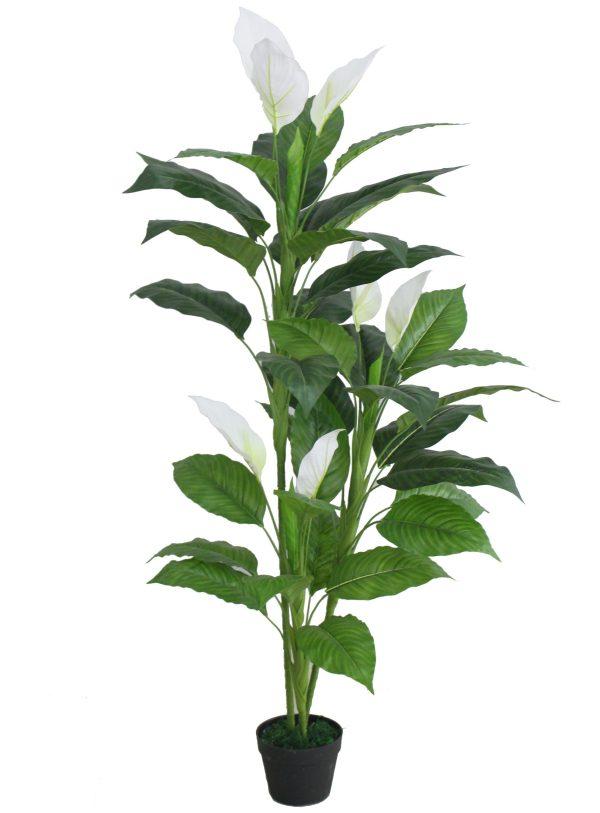 Tall Anthurium Plant
