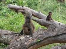 Monkeys, Tanzania