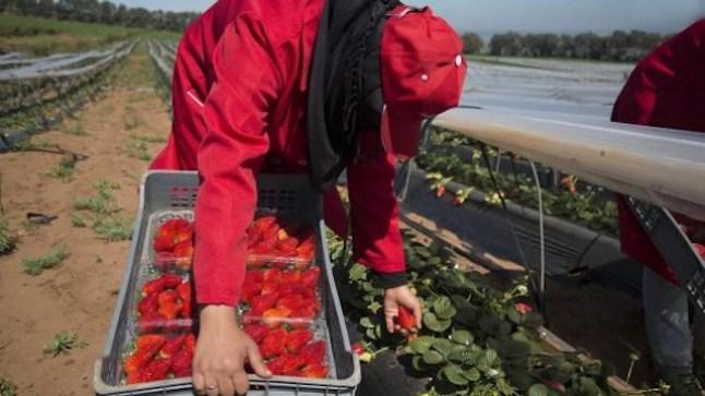 جمعيات حقوقية تطالب أمكراز بالتدخل العاجل لإرجاع أزيد من 7 آلاف عاملة فراولة عالقة بإسبانيا