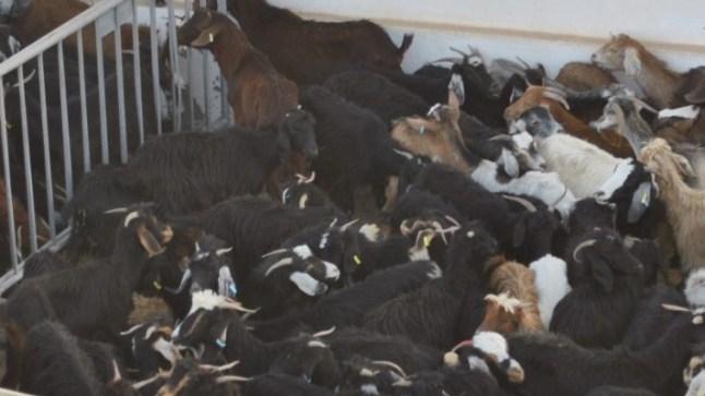 سوق بوجدور العصري لبيع الماشية: الطموح القادم
