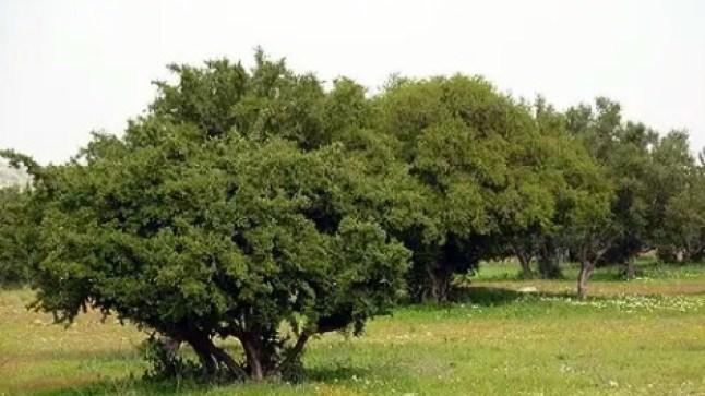 رسميا.. الأمم المتحدة تعلن العاشر من ماي يوما دوليا لشجرة الأركان