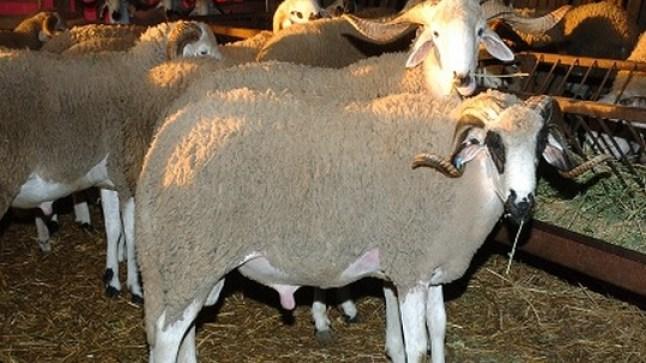المغرب يستعد لعيد الأضحى بترقيم قرابة 6 ملايين رأس من الماشية