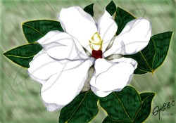Magnolia Grandiflora. My good friend Christine Kurihara's favourite