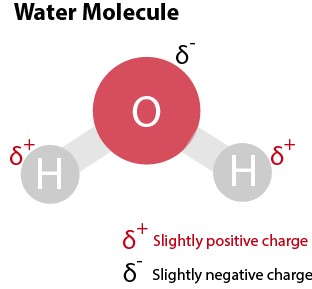 Although water is a net neutral substance, it is also polar because of the slightly negative and positive charges that its constituent parts have. Notice the slight positive charge on the hydrogen atom and a slight negative charge on the oxygen atom on the water molecule above .