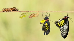 The transformational process that converts a caterpillar into a butterfly.