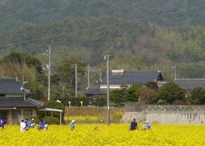 秋穂は菜の花でいっぱいです。