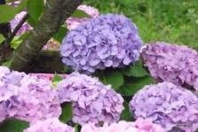 7月の紫陽花 勝山御殿跡