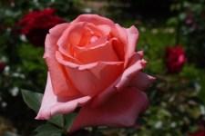 薔薇の花を見に湧永満之記念庭園に行ってきました。その2バラ園