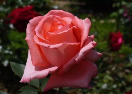 薔薇の花を見に広島に行ってきました。その2湧永満之記念庭園バラ園