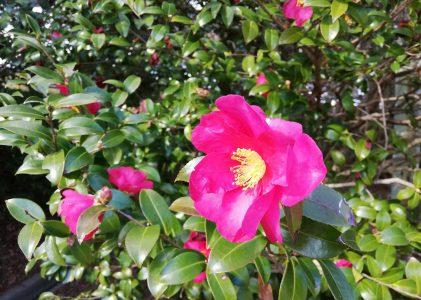 椿の花に和んだ散歩道でした。