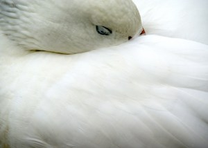 WWT Greater Snow Goose