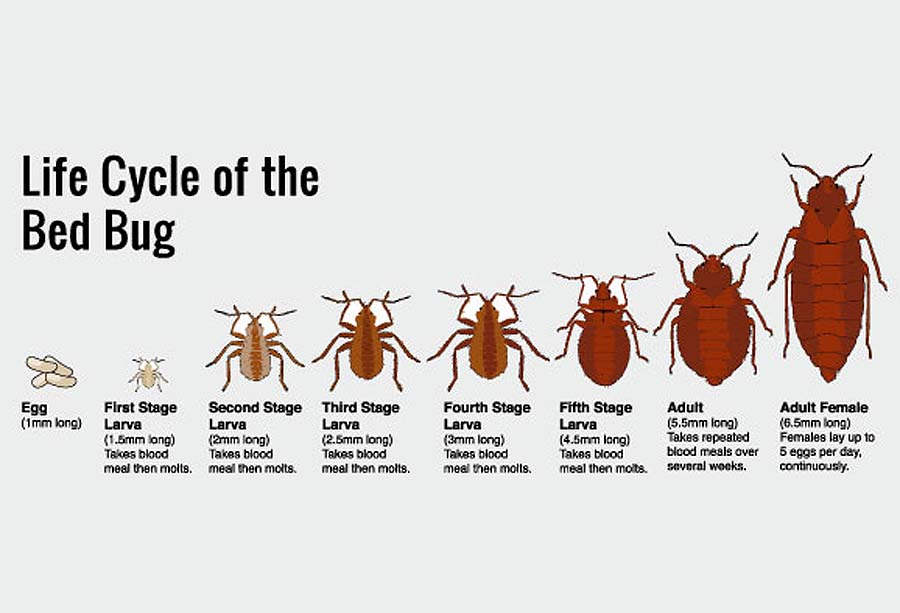 Bed Bug Life Cycle Chuck Your Junk
