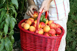 a última colheita de nectarinas