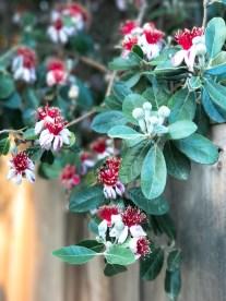 feijoa-flowers_1