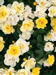 rosesyellow