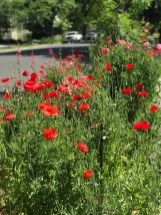 r-poppies–2
