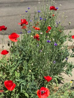 r-poppies–3