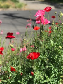 r-poppies–4