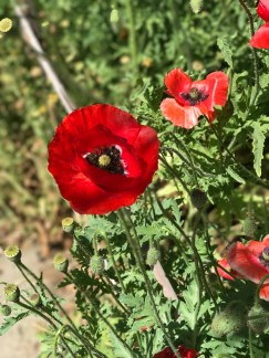 r-poppies–6