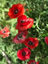 r-poppies–7