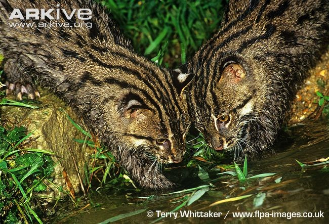 Fishing-Cats-934x