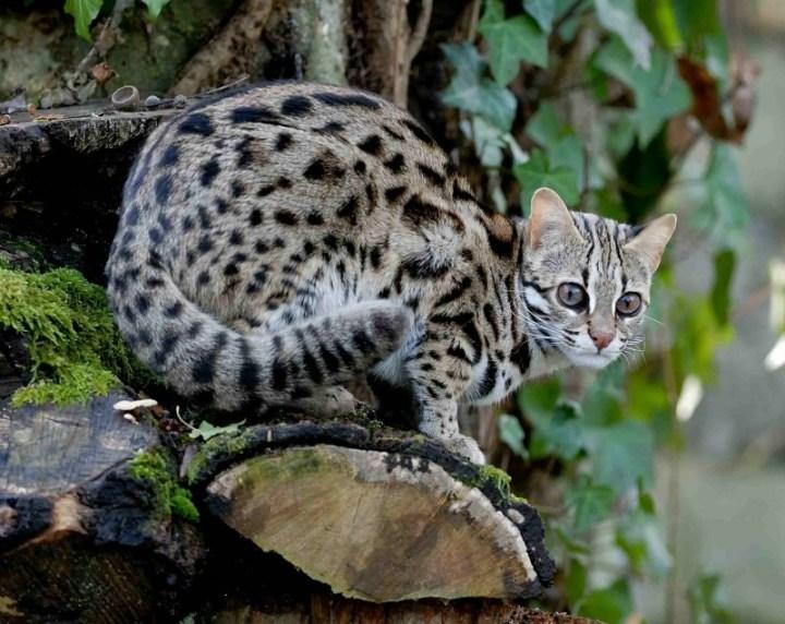 Leopard-Cat-934x