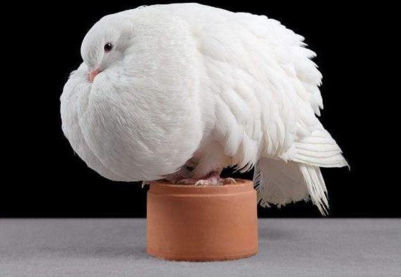 domashniy-golub-16