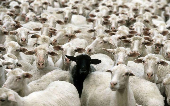sheep-herds-around-the-world-20_result