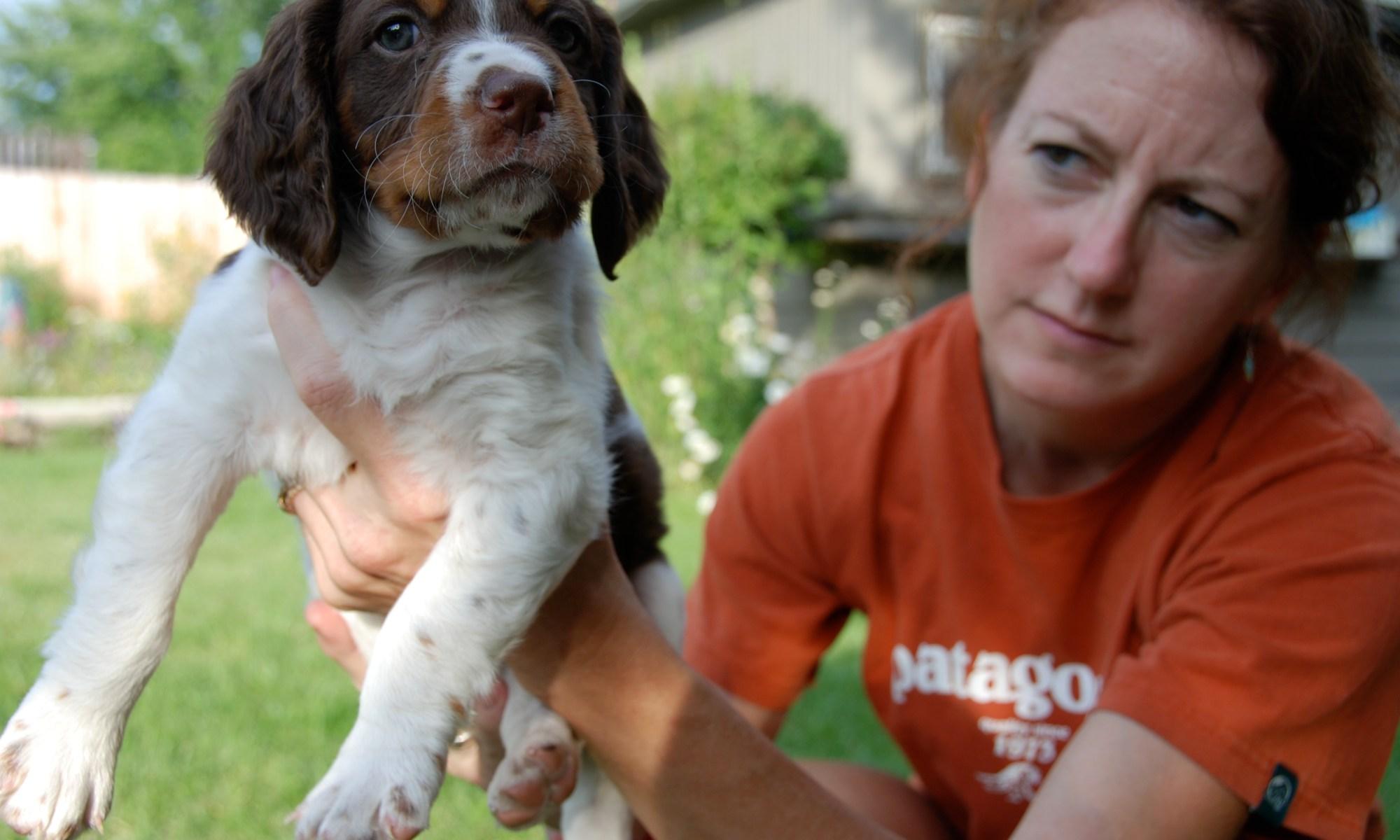 tri-color Brittany puppy