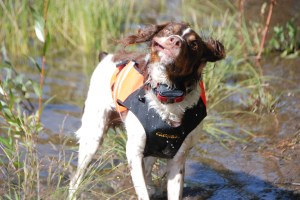 Chest Protector on Brittany Spaniel