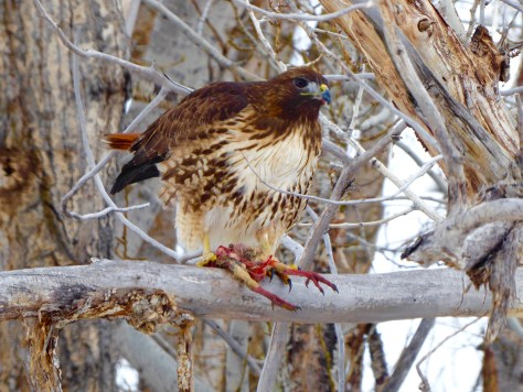 Red-tailed hawk feeding on chukar