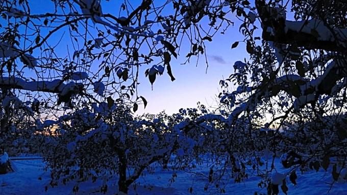 長野市北部リンゴの木
