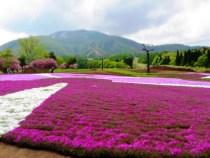 黒姫高原信州芝桜園