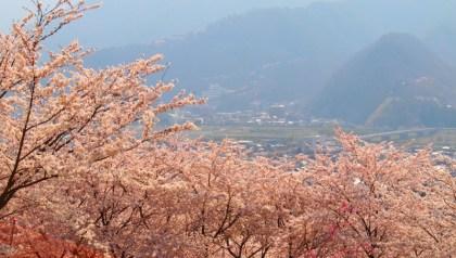 長野県千曲市桜の名所桜満開戸倉宿キティパーク天狗
