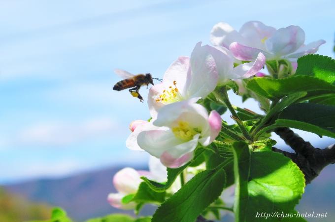 戸倉上山田温泉リンゴ畑