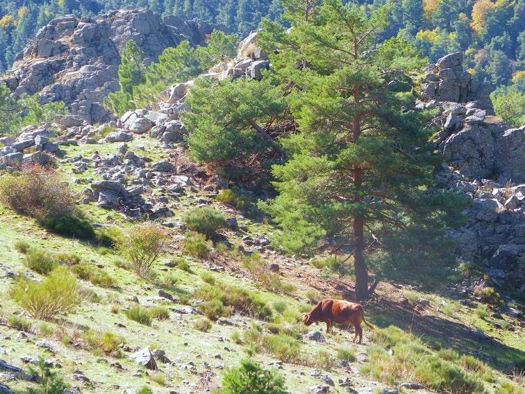 animal pastando en el monte abantos