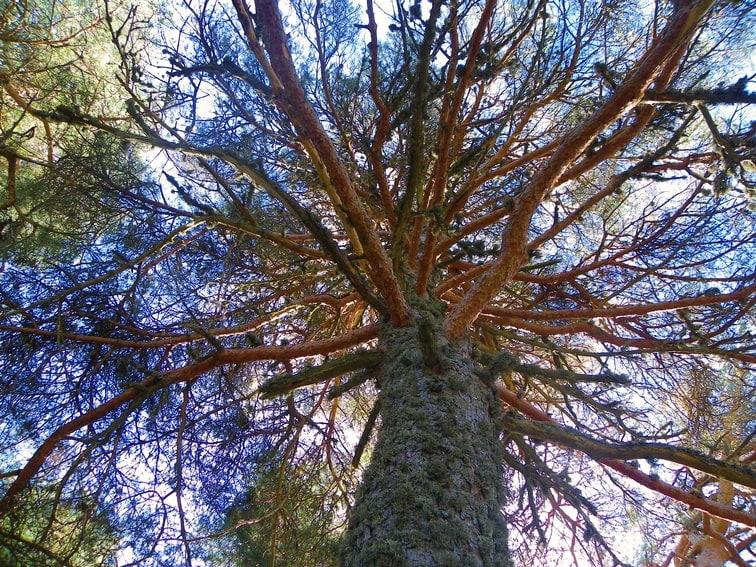 pino con liquenes en su tronco