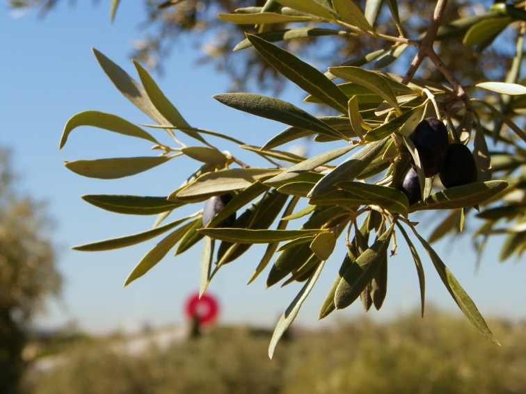 aceitunas maduras de olivos del olivar de la hinojosa