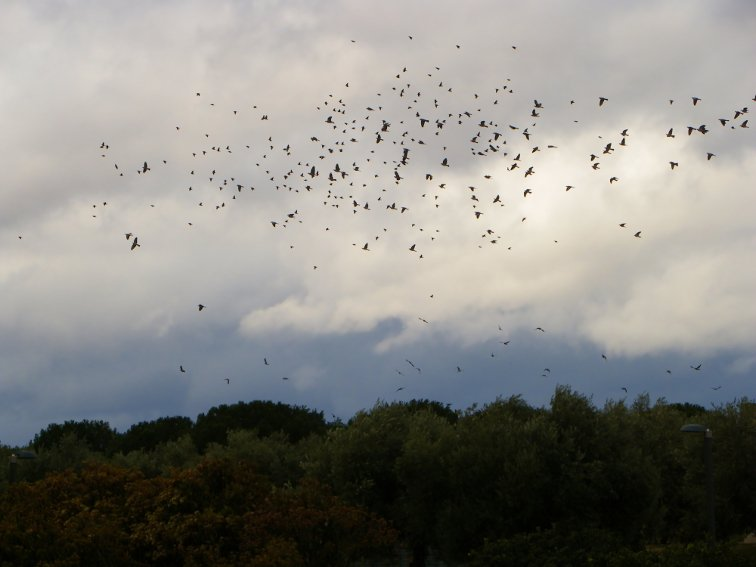 agrupacion de aves en el parque juan carlos I