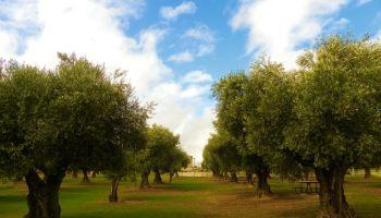 olivar de la hinojosa en el parque juan carlos I