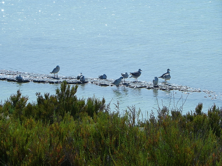 aves acuaticas en una hilera de tierra en balsa salinera en el parque natural de las salinas de santa pola