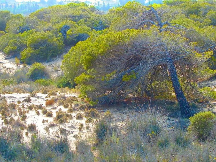 pinos carrascos y dunas del parque natural de las salinas de santa pola