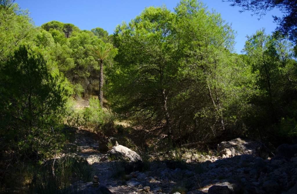 palmera entre una pinada en el barranco de paco mañaco santa pola