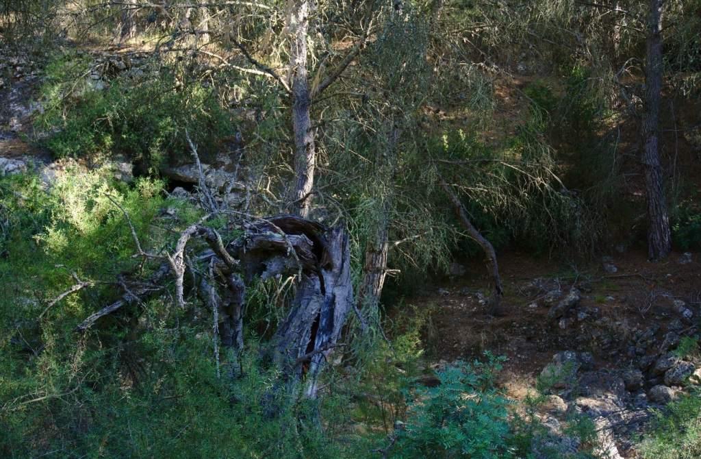 tronco seco y retorcido en el barranco de paco mañaco santa pola