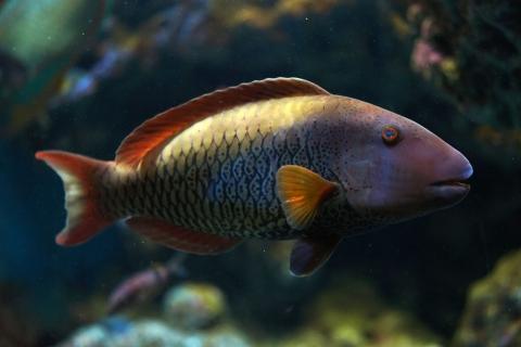青鸚哥魚 | 美麗海生物圖鑑 | 沖繩美麗海水族館 - 沖繩美麗海 世代相傳