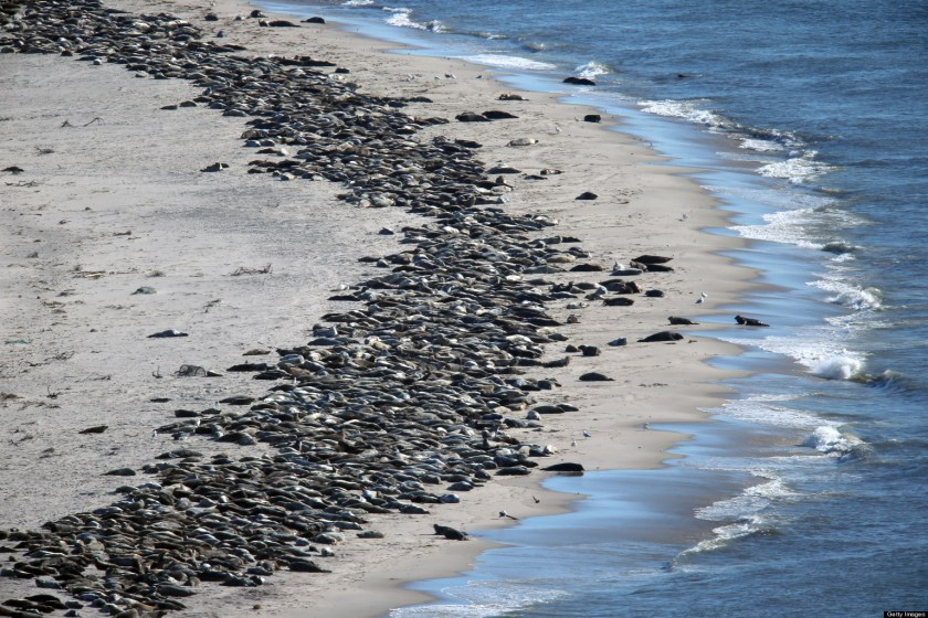 Spring Gathering Of Seals On Cape Cod